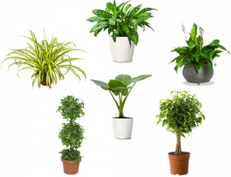 Những loại cây phong thủy thích hợp để trong nhà